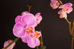 Moth Orchid (Phalaenopsis orchidaceae) Stock Photo