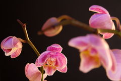 Moth Orchid (Phalaenopsis orchidaceae) Stock Photography