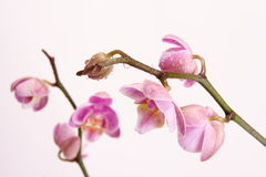 Moth Orchid (Phalaenopsis orchidaceae) Royalty Free Stock Photo