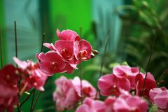 Moth orchid. Phalaenopsis is a Orchidaceae Phalaenopsis, originally from the subtropical rain forest area, is an epiphytic orchid. The leaves of Phalaenopsis are royalty free stock images