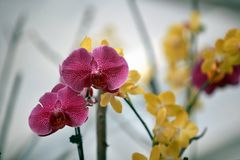 Moth orchid. Phalaenopsis is a Orchidaceae Phalaenopsis, originally from the subtropical rain forest area, is an epiphytic orchid. The leaves of Phalaenopsis are stock images