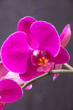 Moth Orchid. (Phalaenopsis) Royalty Free Stock Photo