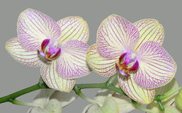 Moth Orchid Royalty Free Stock Images