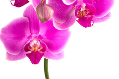 Moth Orchid. Pink orchid isolated on white Royalty Free Stock Photography
