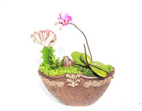 The moth orchid in pot Stock Image