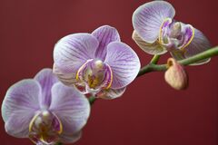 Moth Orchid on red background Royalty Free Stock Photography