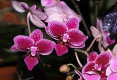 Moth orchid small flowered red cultivar, Phalaenopsis. Popular ornamental herb with strap shaped leaves and moth shaped small red flowers with white mottled royalty free stock photography