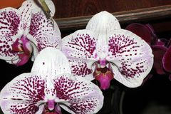 Moth orchid white mottled cultivar, Phalaenopsis royalty free stock photography