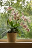 Moth Orchid in window royalty free stock photo