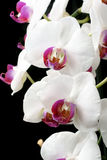 Moth Orchids Royalty Free Stock Photo