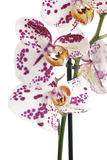 Moth Orchids Stock Photo