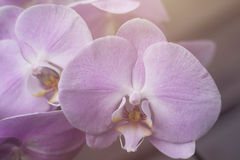 Moth orchids pink flower Stock Images