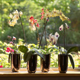 Moth Orchids in plantpots in window. Window-sill and plant pots with Moth Orchids or Phalaenopsis with glassreflections and trees in background outdoors - square Stock Photography