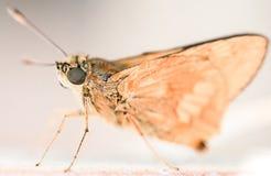 Flying hairy moth upclose royalty free stock photo