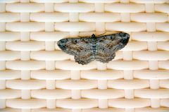 Moth in the nature. moth is common pest of stored products and pest of food in homes. royalty free stock photo