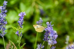 A moth perches on a stalk of lavender at the farm. stock image