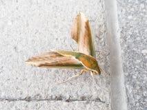Moth, Pergesa acteus royalty free stock photo