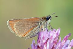 Moth. Profile. The small skipper (Thymelicus sylvestris) on a flower. Face Stock Images