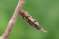 A moth pupa. Very good camouflage, can not easily be found, smart bug Royalty Free Stock Photo