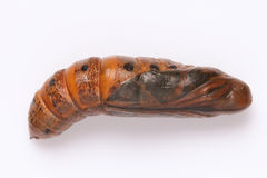 Moth pupa Stock Images