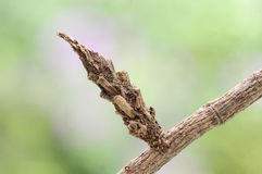 A moth pupae. Master of disguise, thought is the branches Royalty Free Stock Images