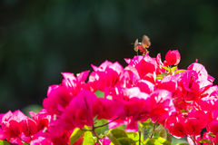 Moth on red bougainvillea stock photo
