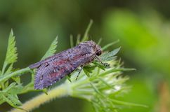 Moth with red spots sitting on grass Royalty Free Stock Photography