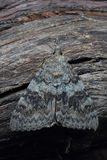 Moth - Red Underwing (Catocala nupta) on tree Stock Image