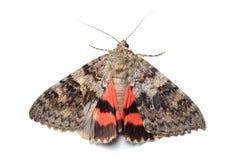 Moth - Red Underwing (Catocala nupta) on white Royalty Free Stock Photo