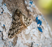 Moth resting on wall. Stock Image
