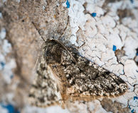 Moth resting on wall. Stock Photography