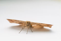 Moth resting on white paper. Stock Image