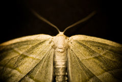 Moth, Sepia. An artistic view at a moth in sepia Stock Photography