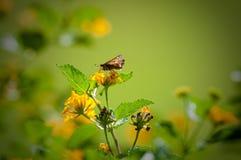 Moth sitting on lantana Stock Image