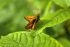 The moth sitting on a leaf of a tree Royalty Free Stock Photography