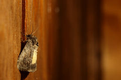 Moth sitting on a wooden wall. Moth sittinng on a wooden wall in artificial light royalty free stock photo