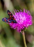 A moth six-spot burnet (Zygaena filipendulae) on a purple flower Stock Photos