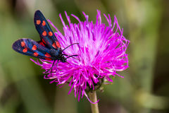 A moth six-spot burnet (Zygaena filipendulae) on a purple flower Royalty Free Stock Images