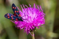 A moth six-spot burnet (Zygaena filipendulae) on a purple flower Royalty Free Stock Images