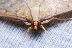 Moth Stare Royalty Free Stock Images