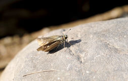 Moth on stone Royalty Free Stock Photo