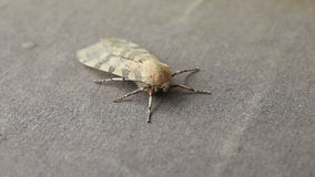 Moth with striped wings Royalty Free Stock Image