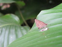 Moth stuck to leaf Royalty Free Stock Image