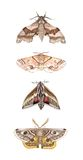 Moth study. Watercolor study of four British moths Royalty Free Stock Photography