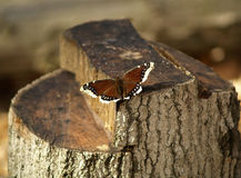 Moth on stump. A red moth on a freshly sawed tree stump stock photos