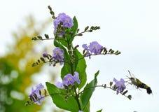 Moth sucking nectar. Unusual moth feeding flowers Royalty Free Stock Photo