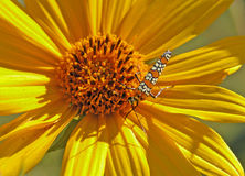 Moth on Sunflower. Photograph of a colorful moth checking out a bright yellow sunflower Royalty Free Stock Images