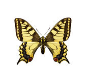 Moth - Swallowtail British Race Royalty Free Stock Images