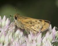 Moth on Tiny Purple Flowers Stock Photography