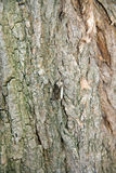 Moth on a trunk. Of locust tree Stock Image